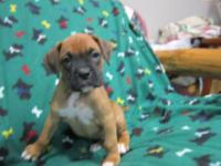 Full blooded registered boxer puppies Shots ,wormed