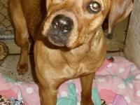 Boxer - Doxie - Large - Young - Female - Dog Doxie is a