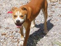 Boxer - Dusty - Large - Young - Male - Dog Dusty is