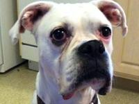 Boxer - Dutchess - Medium - Senior - Female - Dog Meet