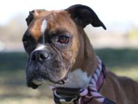Boxer - Elbie - Medium - Adult - Female - Dog Elbie is