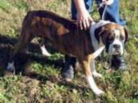 Boxer - Enyra - Medium - Adult - Female - Dog Enrya is
