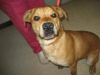 Boxer - Bella: Fabulous Boxer Mix - Large - Young -