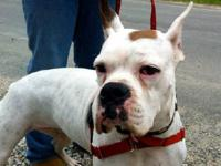 Boxer - Faith - Foster Home Needed - Medium - Young -