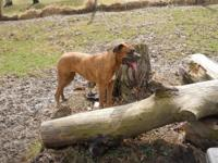 Female 2 year old boxer all chances and spayed upto day