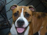 Boxer - Frankie - Medium - Young - Male - Dog Not ready