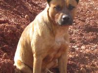 Boxer - George - Large - Adult - Male - Dog George is