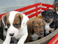 Beautiful short haired puppies, 8.5 weeks old Shots and