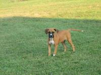 Boxer - Ginger - Large - Young - Female - Dog Ginger is