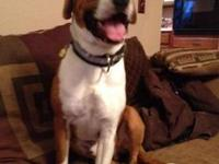 Boxer - Harley - Medium - Young - Male - Dog Harley is