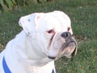 Boxer - Herc ~update~ - Medium - Adult - Male - Dog