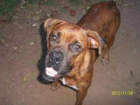 Boxer - Hope - Large - Adult - Female - Dog Hi! My name