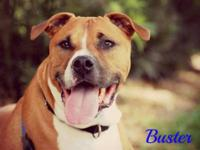 Boxer - Ian - Medium - Adult - Male - Dog