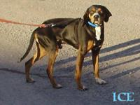 Boxer - Ice - Medium - Adult - Male - Dog
