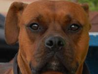 Boxer - Jack Daniels - Large - Adult - Male - Dog