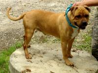 Boxer - Jake - Medium - Adult - Male - Dog Jake Jake is