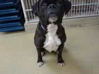 Boxer - Janis - Medium - Adult - Female - Dog Janis is