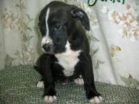 Boxer - Jared - Large - Baby - Male - Dog Jared was