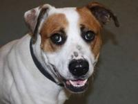Boxer - Joe - Large - Adult - Male - Dog Hi! My name is