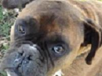 Boxer - Junior - Large - Adult - Male - Dog Junior is a