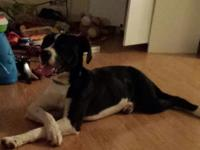 wanting to rehome a boxer lab mix she is a sweet dog i