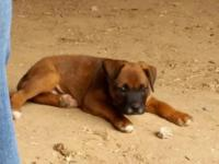 """ Boxer/Lab Mix Puppy"" * FOR SALE * 1Female D.O.B"