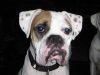 Boxer - Lennon - Medium - Adult - Male - Dog Not ready