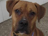 Boxer - Leo - Medium - Young - Male - Dog transferred
