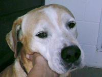 Boxer - Liberty - Large - Young - Female - Dog Liberty