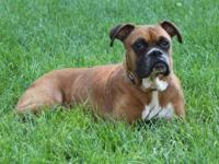 Boxer - Liberty - Medium - Adult - Female - Dog I'm