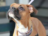 Boxer - Lilah - Medium - Young - Female - Dog Lilah