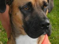 Boxer - Linus - Medium - Young - Male - Dog HEY!!!! My
