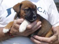 Boxer - Mandy - Large - Baby - Female - Dog