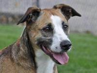 Boxer - Marge - Large - Senior - Female - Dog Marge is
