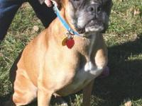 Boxer - Matilda - Medium - Adult - Female - Dog in a