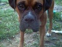 Boxer - Maxus - Large - Adult - Male - Dog Maxus & Baby
