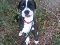 Female Black and White Boxer mix. 8 months old. Up to