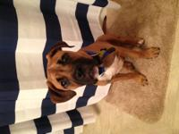 Eli is a lovable 6 month old boxer mix! He weighs