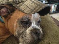 Boxer - Nigel - Large - Adult - Male - Dog Nigel is a
