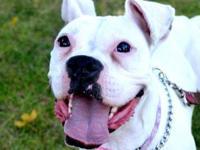 Boxer - Nikita - Medium - Young - Female - Dog HEARD OF