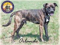 Boxer - Orlando - Medium - Young - Male - Dog DOB