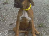 Boxer - Paris $250 16wks - Medium - Baby - Female -