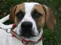 Boxer - Parker - Medium - Young - Male - Dog