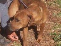 Boxer - Pebbles - Large - Young - Female - Dog I'm
