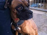 Boxer - Pete - Large - Adult - Male - Dog Pete is a