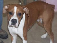 Boxer - Poe - Large - Young - Male - Dog Sweet sweet