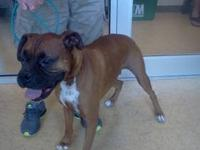 Boxer - Port - Large - Adult - Male - Dog 3 year old