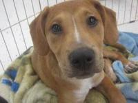 Boxer - Prince - Medium - Baby - Male - Dog