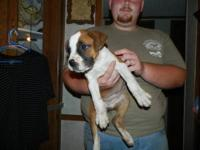 My parents have a female boxer puppy for sale. She is
