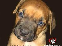 Norman, the baby Boxer mix, will be ready to find his
